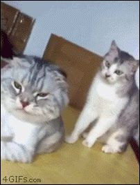 Share this Knock Knock (cat fight) Animated GIF with everyone. Gif4Share is best source of Funny GIFs, Cats GIFs, Reactions GIFs to Share on social networks and chat.