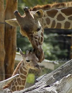 New baby giraffe with mom Baba at the Fresno Chaffee Zoo.