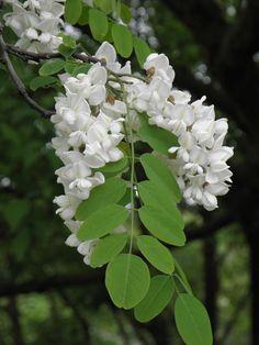 Robinia pseudoacacia flores.