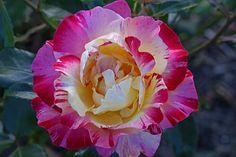 Camille Pissarro Rose - Rosier floribunda, remontant, introduit en FRANCE par DELBARD en 1996. Fleur légèrement parfumée.