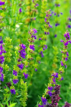 Hyssop plant for tea and herbal medicine
