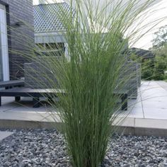 Garden Chinese Reed Gracilimus - Buy Miscanthus sinensis Gracillimus online cheap Informations About Garten-Chinaschilf Gracilimus - Miscanthus sinensis Gracillimus günstig online kaufen Pin You can e