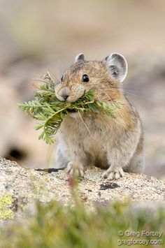 American pika — a small, herbivorous, conspicuously cute mammal related to rabbits and hares - found in the mountains of western North America, usually in boulder fields at or above the tree line Hamsters, Rodents, Nature Animals, Animals And Pets, Baby Animals, Funny Animals, Cute Animals, Wild Animals, Cute Creatures