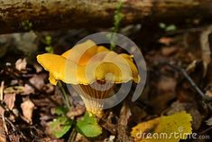 Photo about In natural habitat outdoors in Norway great details seen on this yellow Delicious mushroom gold of the forest. Image of mushroom, forest, botany - 108887760 Mushroom Pictures, Botany, Habitats, Norway, Stuffed Mushrooms, Outdoors, Stock Photos, Yellow, Natural