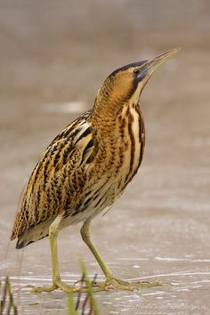 The bird breed of the week, which is the American Bittern, is a member of the heron family. They can be found in Canada and the near Florida in the summer, but in winter, will migrate to Europe. They eat fish, insects, reptiles, and amphibians. The Bittern lays 2-3 eggs in one clutch.