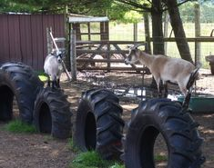 tire playground for goats.ifn you ever get goats. Mini Goats, Baby Goats, Tire Playground, Toddler Playground, Playground Ideas, Playground Design, Goat Shelter, Animal Shelter, Goat Pen