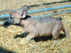 Blue fawn Frenchie with a hoof Blue Fawn French Bulldog, Hippopotamus, Bulldog Puppies, Dogs, Animals, Animales, Animaux, Pet Dogs, Doggies