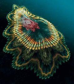西班牙 舞者水母