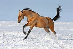 Most Beautiful Horses, All The Pretty Horses, Animals Beautiful, Rare Horse Breeds, Akhal Teke Horses, Animal Magic, Rare Animals, Equine Photography, Horse Pictures