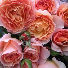 Garden Roses - Spicy Antike