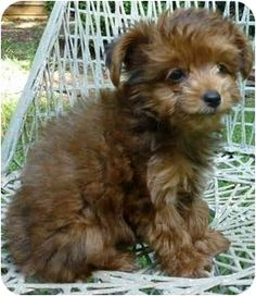 Yorkie Poodle Mix Rescue Dogs | Yorkie, Yorkshire Terrier/Poodle (Miniature) Mix Puppy for adoption in ...
