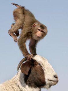 macaco e bode