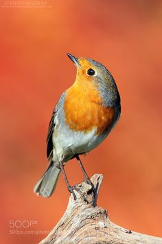 Robin by stevemackayphotography #animals #pets #fadighanemmd