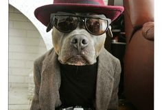 Chango The Pit bull Style Icon Funny Animal Pictures, Cute Funny Animals, Animal Pics, Baby Dogs, Dogs And Puppies, I Love Dogs, Cute Dogs, Cute Pitbulls, Pit Bull Love