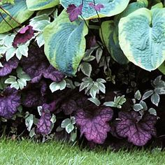 Heuchera 'Velvet Night'  Bright purple leaves add a touch of drama to hosta and snow-on-the-mountain.