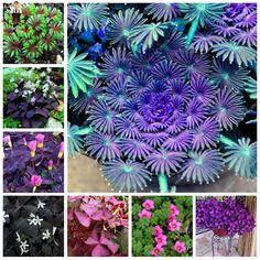 50Pcs Rare Oxalis Wood Sorrel Flower Oxalis Purple Shamrock Clover 100% Real Flower Bonsai Seeds Perennial Outdoor Home Garden