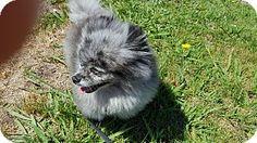 Pomeranian Dog for adoption in Santa Rosa, California - Smokey
