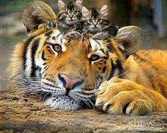 They do look like me, don't they? #Tiger