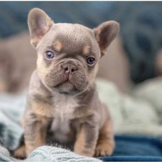 "Awesome ""French bulldog pup"" info is available on our internet site. Read more and you wont be sorry you did. French Bulldog Breed, Bulldog Breeds, French Bulldogs, Baby Bulldogs, English Bulldogs, Cute Dogs And Puppies, Doggies, Cute Little Animals, Animals Beautiful"