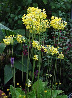 Primula florindae 'Keilour Hybrids'