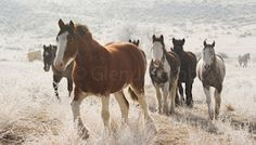 Photography by Glen Turnbow. Idaho, Ranch, Snow, Horses, Running, Winter, Photography, Free, Animals