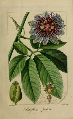 Gravures de fleurs gravure fleur de jardin 40083 grenadille pedalee - passiflora pedata.jpg