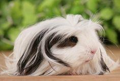 coronet guinea pigs - Sök på Google