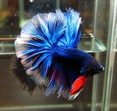 808 Blue red OHM male