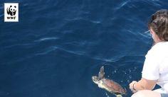 Le tartarughe nuotano nei nostri mari da 150 milioni di anni eppure oggi gli oceani rischiano di perdere per sempre alcuni dei loro ospiti più affascinanti. Tutte le specie di tartaruga marina sono considerate in pericolo di estinzione. Ecco come puoi aiutarci a salvarle: http://adozioni.wwf.it/adozioni.aspx?adotta=tartarugamarina