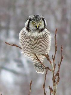 Northern Hawk Owl ... ❤️#Ellie ~ The #GiftedGiraffe