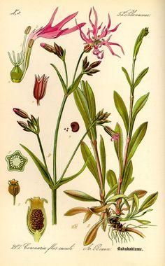 koekoeksbloem. lychnis