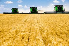 Wheat harvest season - such a beautiful sight to see! #wheat #harvest
