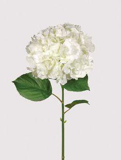White Full Bloomed Hydrangea