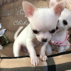 Cutest tiny chihuahua are so playful! from Las Vegas tiny chihuahua. White Chihuahua, Chihuahua Puppies For Sale, Teacup Puppies, Chihuahua Love, Cute Dogs And Puppies, Baby Puppies, Cute Baby Dogs, Cute Baby Animals, Baby Animals Pictures