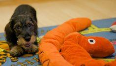 a wirehair dachshund puppy - so cute!