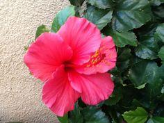 My Hibiscus plants are still blooming. @Jorge Martinez Alvarado