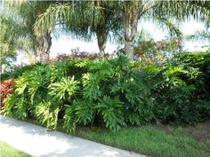Philodendron Selloum is a spectacular tropical foliage shrub for large, partially shaded areas of the landscape.