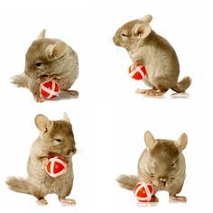 Sequence shots of chinchilla holding ball. Sequence shots of chinchilla holding , Diy Chinchilla Toys, Chinchilla Facts, Small Pet Supplies, Exotic Pets, Guinea Pigs, Pet Care, Cute Cats, Fur Babies, Cute Animals