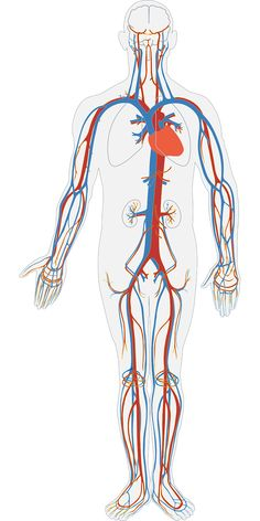 Human Blood Circulation and Cardiovascular Circulation - Systemic vs Pulmonary Circulation - hepatic portal vein Facts About Humans, Cupping Therapy, Supply Chain Management, Unbelievable Facts, Circulatory System, Lymphatic System, Male Enhancement, Human Body, Blood