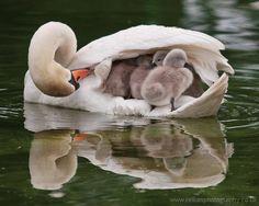 Swan with cygnets @ Bicton Park Gardens, Devon, England.