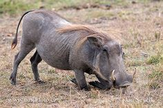 common warthog - Google Search