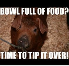 Every Time! show pig probs Every Time! show pig probs Farm Animals, Funny Animals, Cute Animals, Pig Showing, Fluffy Cows, Show Cattle, Showing Livestock, Essay Writer, Pig Farming