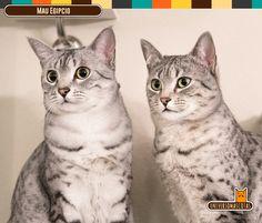 Origen: Egipto Longevidad: de 9 a 15 años. Conoce más de este mítico gato en: http://www.universomascotas.co/razas/gatos/mau-egipcio/65