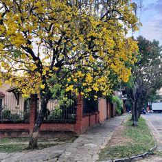 Lapacho amarillo.Paraguay
