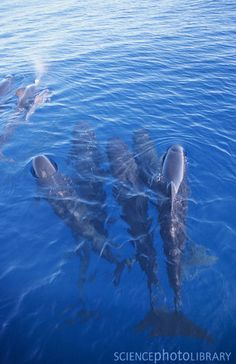long-finned pilot whales                                                                                                                                                                                 More
