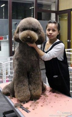 standard poodle in japanese style clip