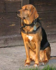Polish Hound / Ogar Polski #Dogs #hunting Dog Best Friend, Best Friends, Odd Couples, Hound Dog, Pet Lovers, All Dogs, Animals And Pets, Dog Breeds, Hunting