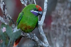 Plum-faced Lorikeet (Oreopsittacus arfaki) photographed by Chien C Lee near Lake Habbema, New Guinea