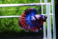 How to tell if your betta fish is happy - Nice Betta Thailand.CO.,LTD Fish For Sale, Siamese Fighting Fish, Fish Farming, Betta Fish, To Tell, Fresh Water, Thailand, Nice, Happy