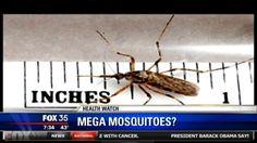 Galinipper: Mega mosquito could invade Florida this summer - FOX 35 News Orlando
